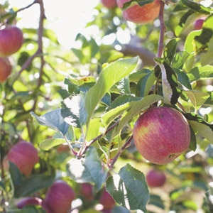 Apple Trees & Small Fruits