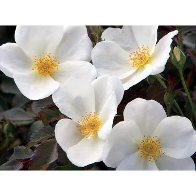 25% OFF White Out Shrub Rose
