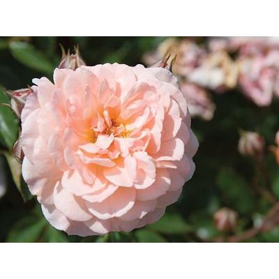 'Apricot' Drift Roses