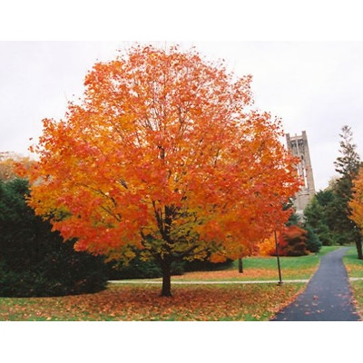 50% OFF Green Mountain Sugar Maple 2