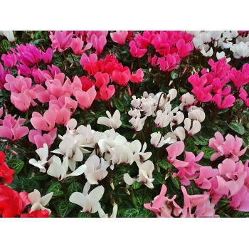 Flowering Cyclamen