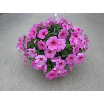 10'' Wave Petunia Hanging Baskets