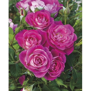 'Easy to Please' Floribunda Roses