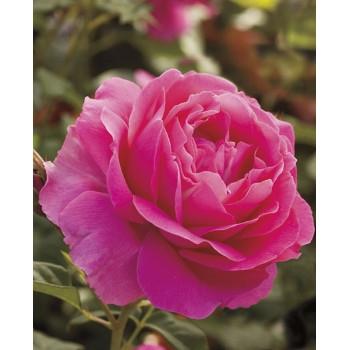 Grande Dame™ Pink Hybrid Tea Rose