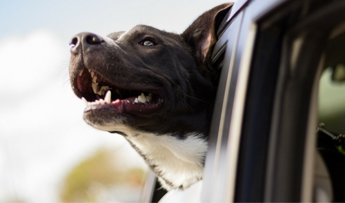 January is Pet Travel Safety Month