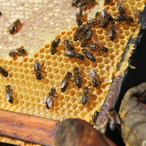 Live Honey Bees For Sale!