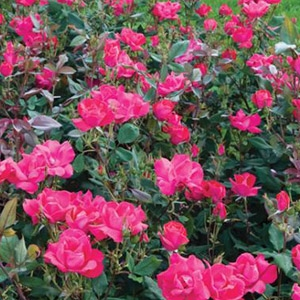 The Red Knock Out® Rose