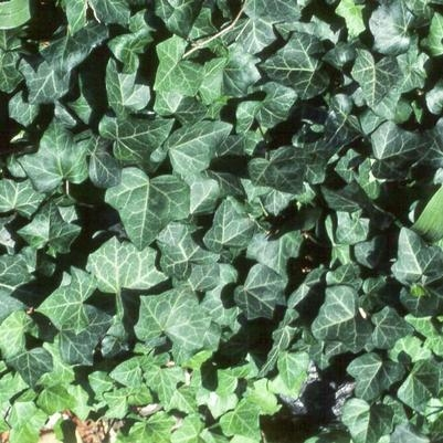 Thorndale English Ivy
