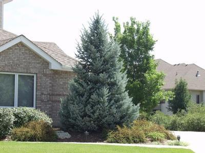 Bacheri Spruce Tree