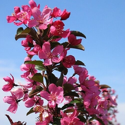 Prairifire Flowering Crab Tree