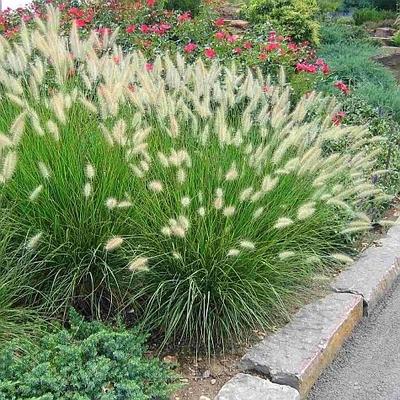 Hameln Dwarf Fountain Grass