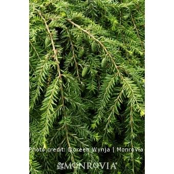 Sargent's Weeping Hemlock Tree