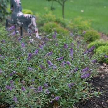 Lo & Behold 'Blue Chip' Butterfly Bush