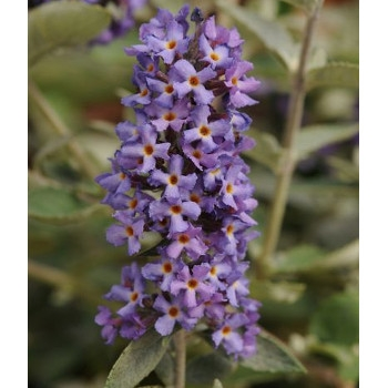 Blue Heaven Butterfly Bush