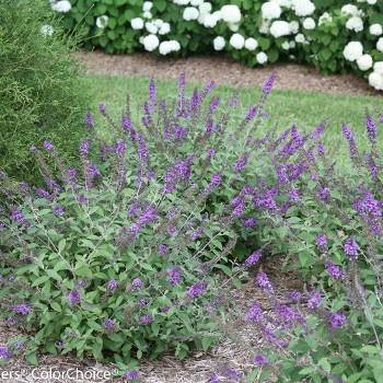 Lo & Behold 'Blue Chip Jr.' Butterfly Bush