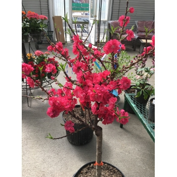 Bonanza Peach Tree