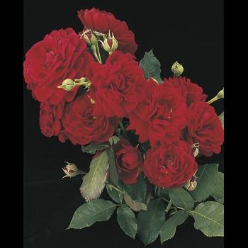 All Ablaze™ Roses