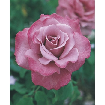 Angel Face Rose