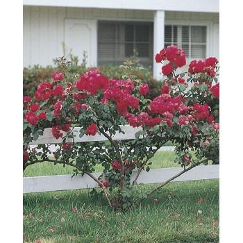 Blaze Improved Rose