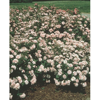 Bonica® Rose