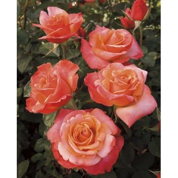 Colorific™ Roses