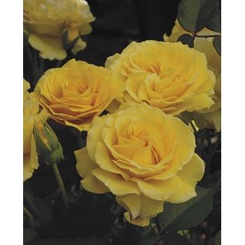Doris Day Rose