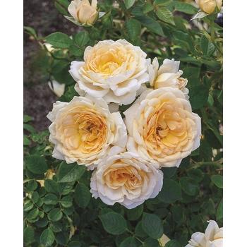 Edith's Darling™ Rose