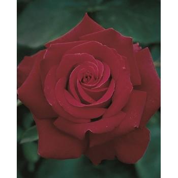 Firefighter® Rose