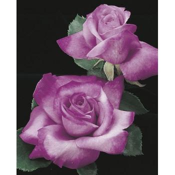 Fragrant Plum Rose
