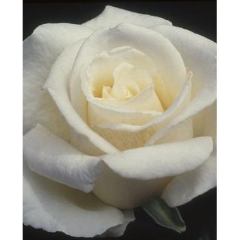 Full Sail Rose