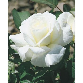 Honor Rose