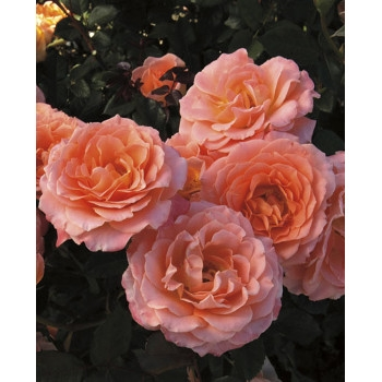 Jump for Joy™ Rose