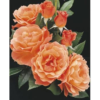 Livin' Easy™ Rose
