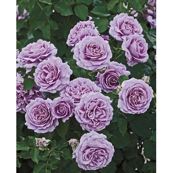 Love Song™ Rose