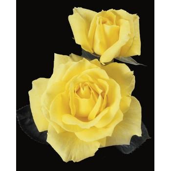 Mellow Yellow Rose