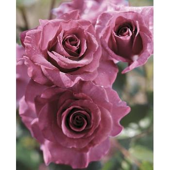 Melody Parfumée™ Rose