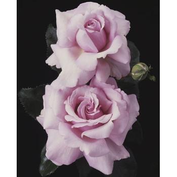 Memorial Day™ Rose