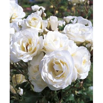 Moondance™ Rose