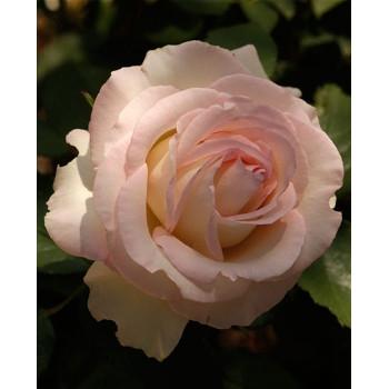 Moonstone™ Rose