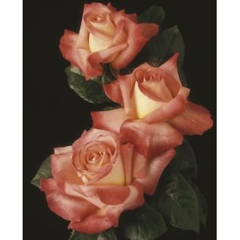 Octoberfest™ Rose