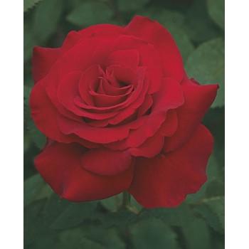 Opening Night™ Rose
