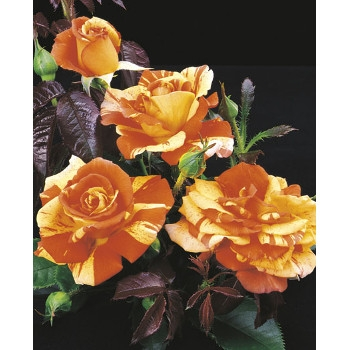 Oranges 'n' Lemons Rose