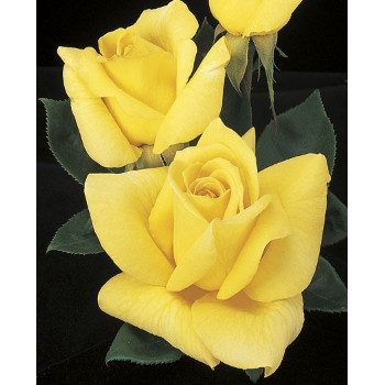 Oregold Rose