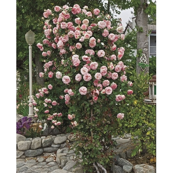 Pearly Gates™ Rose