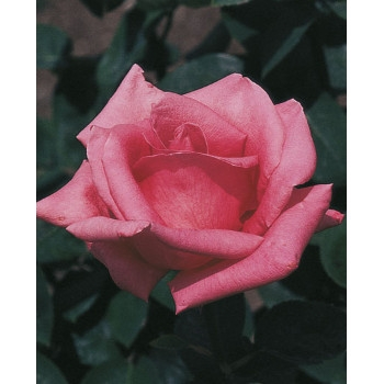 Pink Peace Rose
