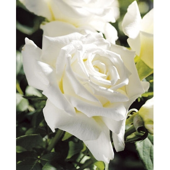 Pope John Paul II Rose