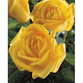 Radiant Perfume Rose