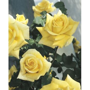 Royal Gold Rose