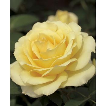 Summer Love™ Rose
