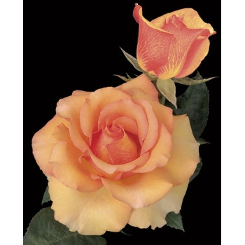 Sunstruck™ Rose